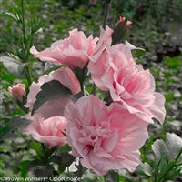 Rose of Sharon Hibiscus syriacus Pink Chiffon&#0153