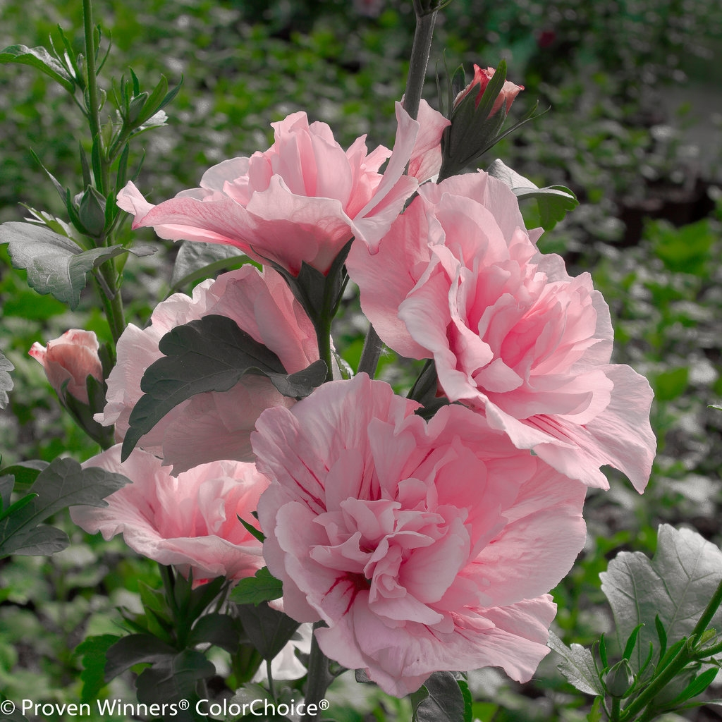 Rose Of Sharon Hibiscus Syriacus Pink Chiffon