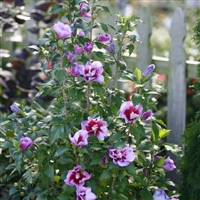Rose of Sharon Hibiscus syriacus Purple Pillar®
