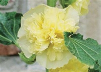 Hollyhock Alcea Queeny Yellow