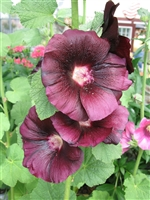 Hollyhock Alcea Rosea Spotlight Blacknight