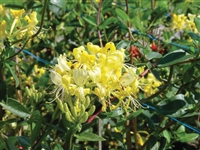 Honeysuckle Lonicera Periclymenum Scentsation