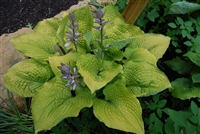Hosta 'Coast to Coast' Shadowland&#0153 hybrid