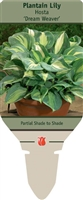 Plantain Lily Hosta 'Dream Weaver'