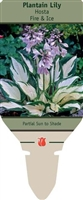 Hosta Plantain Lily 'Fire & Ice'