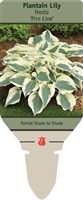 Plantain Lily Hosta 'Firn Line'