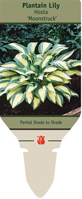 Hosta Plantain Lily 'Moonstruck'