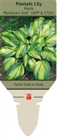 Hosta Plantain Lily 'Rainforest Sunrise'