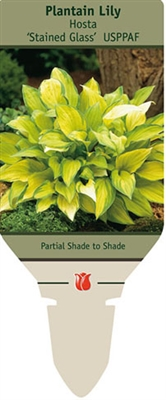 Hosta Plantain Lily 'Stained Glass'
