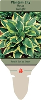 Hosta Plantain Lily 'Twilight'