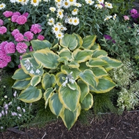 Hosta 'Seducer' Shadowland&#0153 hybrid