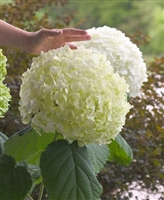Incrediball® Smooth Hydrangea Hydrangea arborescens