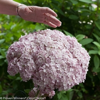 Incrediball® Smooth Hydrangea Hydrangea arborescens Blush