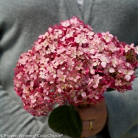 Invincibelle® Smooth Hydrangea Hydrangea arborescens Ruby
