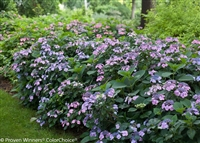 "Tuff Stuffâ""¢ Reblooming Mountain Hydrangea serrata"