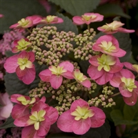 "Tuff Stuffâ""¢ Mountain Hydrangea serrata Red"