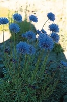 Jasione perennis Sheeps Bit Blue light