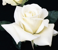 John F Kennedy Hybrid Tea Rose
