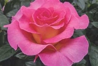 "Julie Andrewsâ""¢ Hybrid Tea Rose"
