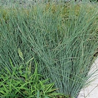 Juncus inflexus Blue Rush Blue Arrows
