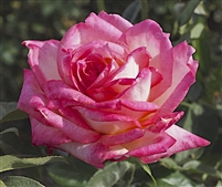 Kordes Perfecta Hybrid Tea Rose