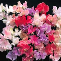 Lathyrus latifolius Sweet Pea Mixed Colors