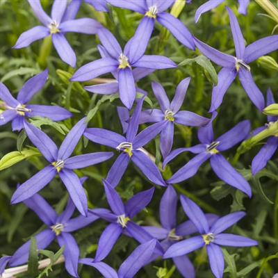 Star Flower Laurentia Beth's Blue Isotoma axillaris