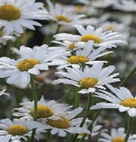 Leucanthemum Shasta Daisy White Breeze