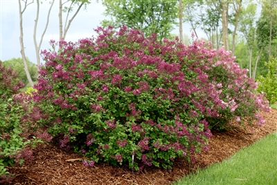 Bloomerang® Dark Purple Reblooming Lilac Syringa