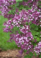 Bloomerang® Purple Reblooming Lilac Syringa