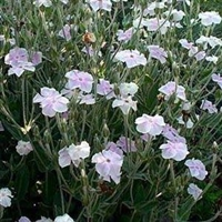 Catchfly Lychnis coronaria Angel Blush