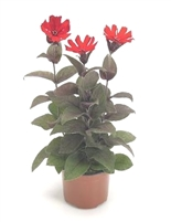 Lychnis Catchfly Lumina Bronze Leaf Red