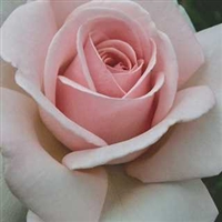 Meredith Hybrid Tea Rose