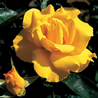"Midas Touchâ""¢ Hybrid Tea Rose"
