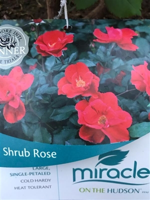 Miracle on the Hudson Shrub Rose