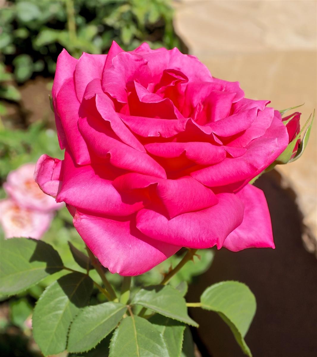 Miss All American Beauty Hybrid Tea Rose