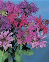 Monarda didyma Bee Balm Panorama Mix