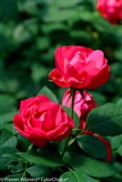 Landscape Shrub Rose Oso Easy® Double Red Rosa x