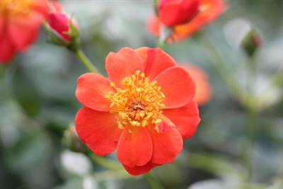 Landscape Shrub Rose Oso Easy Hot Paprika Rosa x