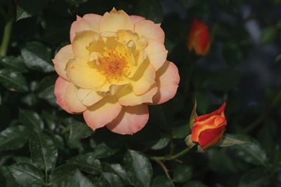 Landscape Shrub Rose Oso Easy® Italian Ice Rosa x