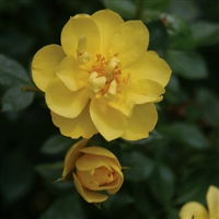 Landscape Shrub Rose Oso Easy® Lemon Zest Rosa x