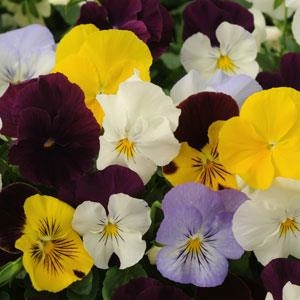 Spreading Pansy Cool Wave Mixture