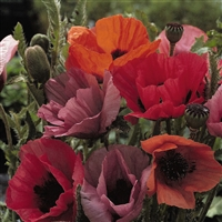 Papaver Oriental Poppy Fruit Punch