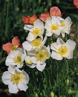 Papaver alpinum Alpine Poppy Mix