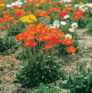 Papaver nudicaule Iceland Poppy Garden Gnome Mix