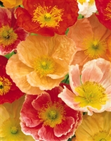 Papaver nudicaule Iceland Poppy Meadow Pastels