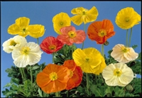 Papaver nudicaule Wonderland Mix Iceland Poppy