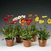 Papaver nudicaule Iceland Poppy Spring Fever Mix