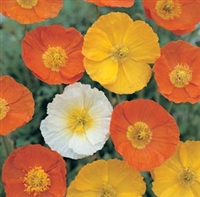Papaver nudicaule Iceland Poppy Summer Breeze Mix