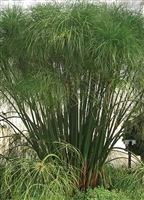 Papyrus Graceful Grasses King Tut